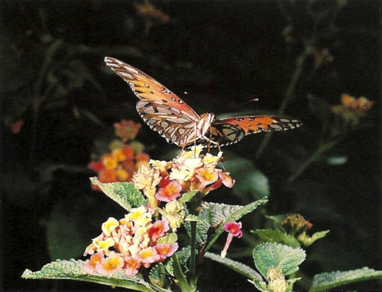 Gult fritillary butterfly