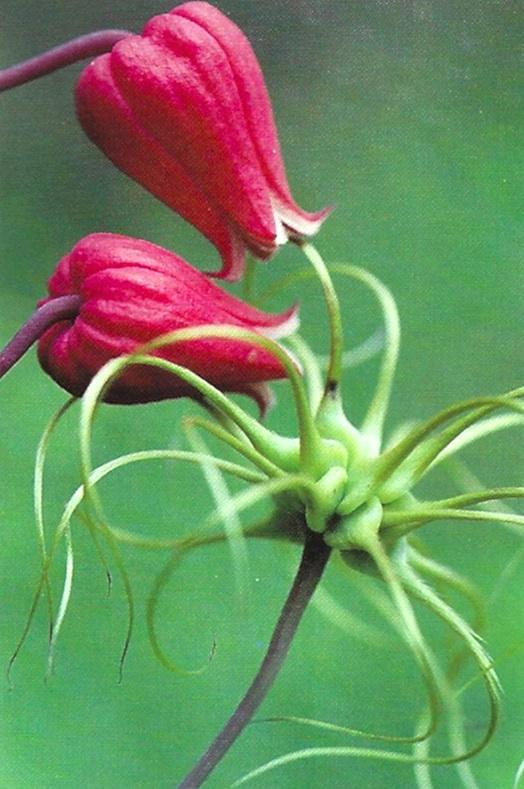 Scarlet leatherflower